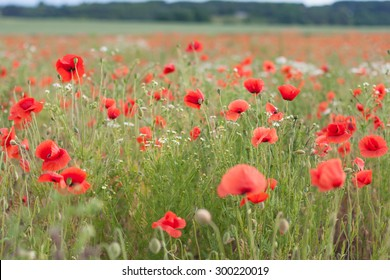 Field with red poppies and blue sky. Shallow depth of field. Blurred background wallpaper