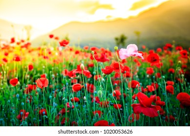 Field with red poppies in the garden