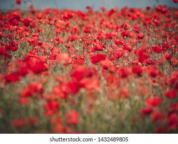 Field of red poppies with muted colour