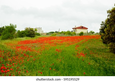 Field of red poppies. Spain.