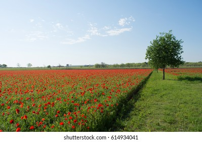 field of red poppies at spring time for background