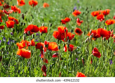 Field of red poppies in the sun. Nature background