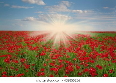 Field of red poppies in Sunny day. The natural background.