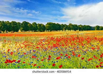 Field with red poppies, tree alley in the background, blue sky