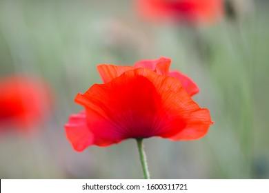 Field of red poppy flowers. Papaver somniferum plants.