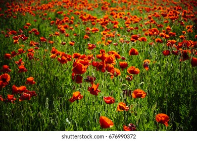field of red poppy seed flower on green stem as background, summer and spring, drug and love intoxication, opium