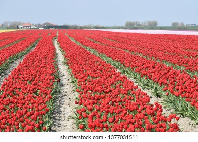 a field of red tulips