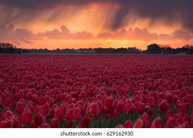 Field of red Tulips during sunrise in Holland