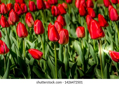 Field of red tulips with green leaves