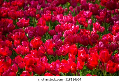 Field with red tulips in the netherlands. Red tulips background.