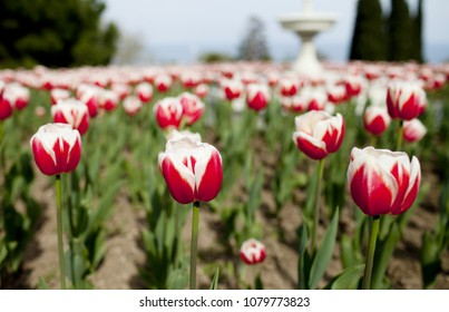 Field of red tulips on a spring day