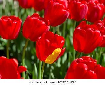 Field red tulips single yellow petal. Mismatch