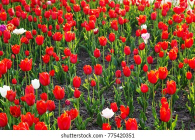 field with red tulips in spring