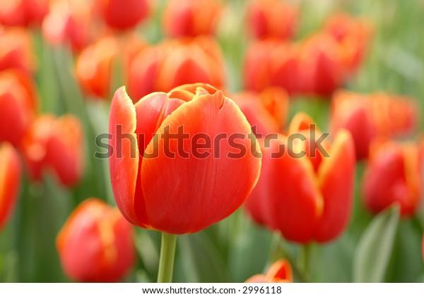 field of red tulips in springtime in the 'keukenhof' in holland