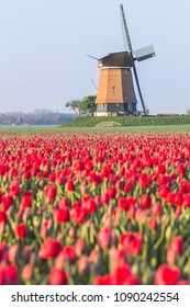 Field of red tulips and windmill on the background. Koggenland, North Holland province, Netherlands.