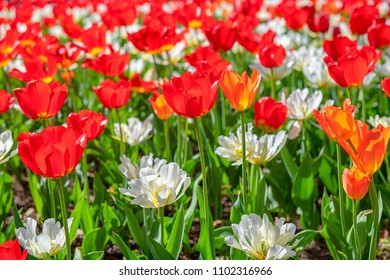 Field of red and white tulips. Red and white are the colours of the Canadian flag. The scene was taken in Saint James Park which is a major tourist attraction in the Canadian city.