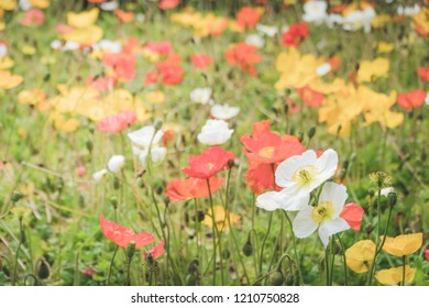 Field of red, white and yellow poppies, selective focus, horizontal