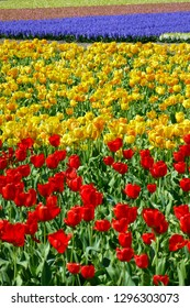 Field of red and yellow tulips ands pink and purple hyacint. Netherlands. Room for text