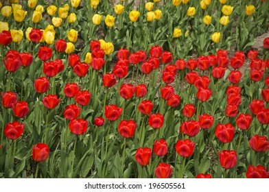 A field of red and yellow tulips in full bloom.
