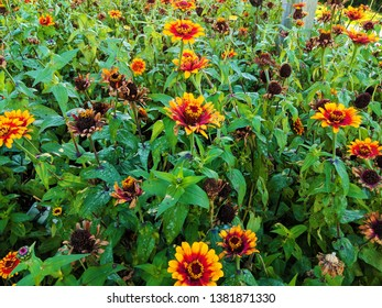 Field of Red and Yellow Zinnias in Bloom and Some with Deadheads that Have Gone to Seed in the Garden, Plus Lots of Leafy Greenery