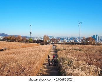 Field of reeds at Haneul Park in Seoul,Korea