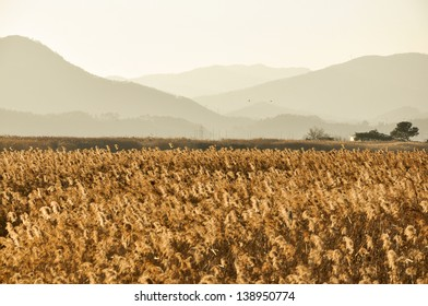 The field of reeds in South Korea. The field of reeds in gorgeous sunset in Suncheonman bay. It is the biggest colony of reeds in Korea.