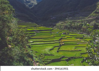Field of rice seedlings at the rice terraces against background with mist and mountains. Batad, Ifugao, Philippines.