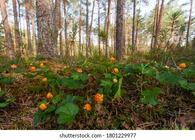 A field of ripe Cloudberries, Rubus chamaemorus in an Estonian bog forest in summer.