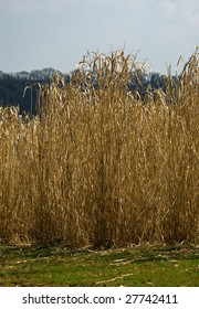 A field of ripe Elephant grass (Miscanthus giganteus) in the sunshine, ready for harvesting and turning into biofuel.