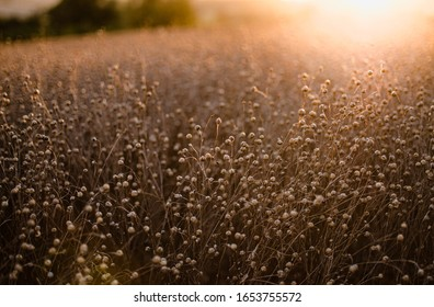 A field of ripe flax backlit by the setting sun creating a bokeh, landscape format with copyspace