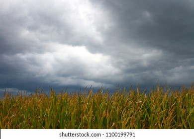 field of ripe maize with dramatic cloudy sky in the back