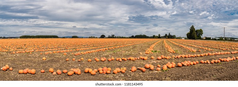 Field of Ripe Orange Pumpkins and Cloudy Sky Panoramic