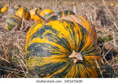 A field of ripe pumpkins. Pumpkin seed oil is extracted from this type of pumpkin. The flesh is ploughed under as fertiliser. Seen in Brandenburg.