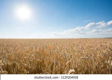 The field of ripe rye at sunset