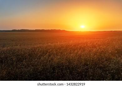 Field of ripe rye in sunset light
