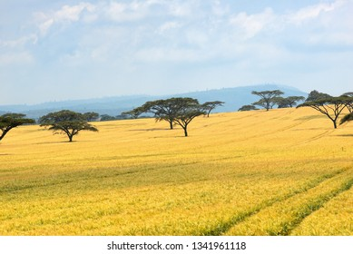 Field of a ripe wheat with acacia trees in Kenya. Africa