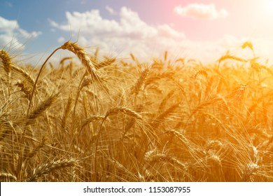 Field of ripe wheat against the blue sky with white clouds. Agriculture scene. Mock up