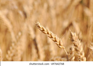 Field of ripe wheat background. Ears of ripe wheat in a field close up