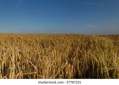 A field of ripe wheat with a blue sky