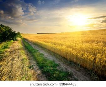 Field of ripe wheat in bright sunbeams