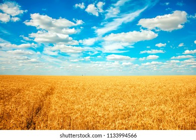 field with ripe wheat and clouds in the sky