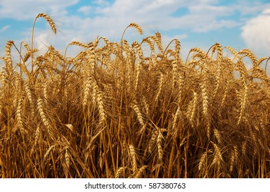 Field of ripe wheat. Forthcoming harvest to harvest.
