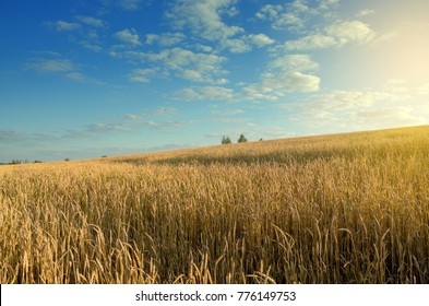 Field of ripe wheat on a background of blue cloudy sky and golden warm sunlight.Summer countryside landscape.Agriculture.Rural scene.