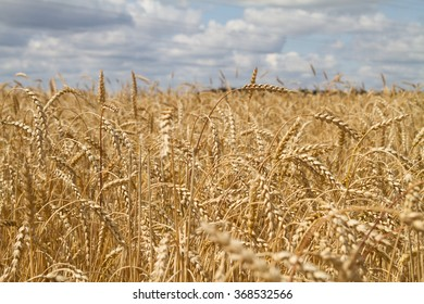 Field of ripe wheat on a sunny day.