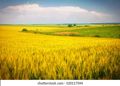 a field of ripe wheat, the road