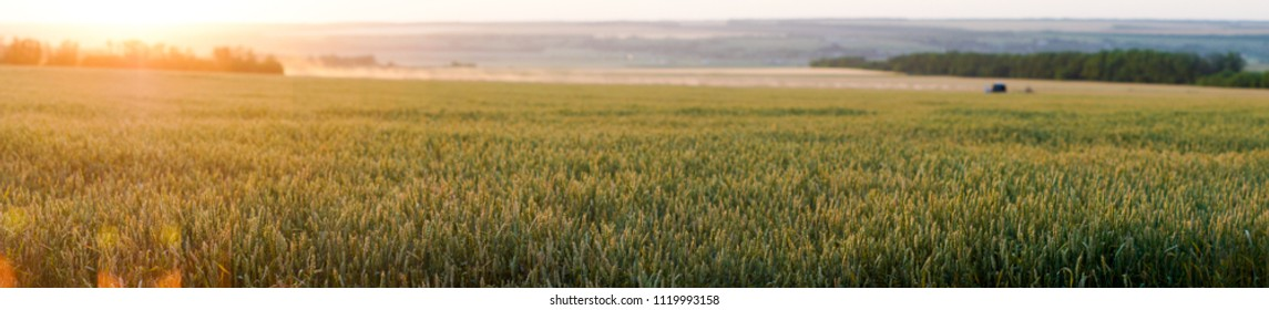 field of ripe wheat with spikelets of golden color in the evening at sunset
