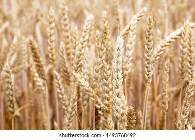 Field of ripe wheat (Triticum). Rich harvest. Agriculture and farming. Close-up.