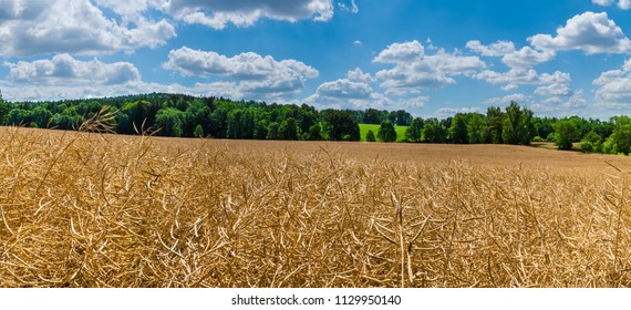 Field of a ripened rapeseed in a summer landscape. Brassica napus. Beautiful dry canola pods on a rural farm. Green forest and blue sky with white clouds. Agriculture, ecology. Full depth of field.