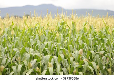 A field of ripening maize, or Corn, Underberg,kwazulu Natal, South Africa.