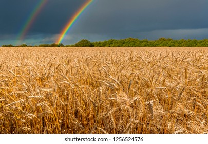 Field with ripening wheat and approaching thunderstorm